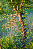 Young pine Stock Image