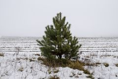 Pine in the field in winter stock photos