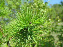 Young pine branch. Riot of green paint in the reflection of young shoots of trees Stock Photos
