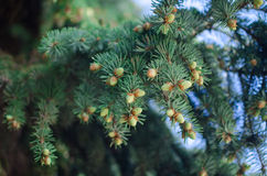 Young pine branch Royalty Free Stock Images