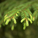 Young pine branch in spring Royalty Free Stock Photo