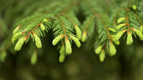 Young pine branch in spring Royalty Free Stock Images