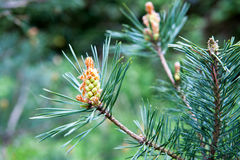 Young pine branch on spring time Royalty Free Stock Image