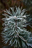 Young pine branch in winter Royalty Free Stock Photo