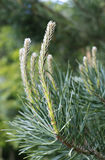 Young pine branches in the spring Royalty Free Stock Photo