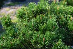 Young pine with small cones stock images