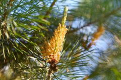 Young pine bud cone. Pine kidney. royalty free stock photography