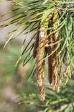 Young pine closeup Stock Image