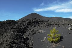 Young pine colonize cold lava of volcanic cone. In Etna Park, Sicily royalty free stock images