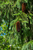 Young Pine Cone Royalty Free Stock Images