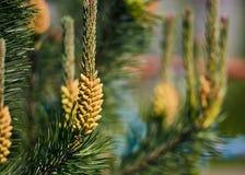Young pine cone Stock Photos
