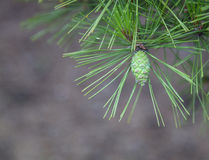 Young Pine Cone Closeup Royalty Free Stock Photo