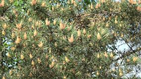 Young pine cones on blue sky background. Young pine cones closeup on blue sky background stock video