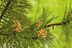 Young pine cones Royalty Free Stock Image