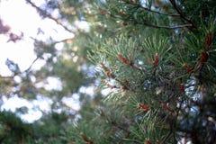 Young pine cones Stock Photos