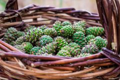 Young pine cones, light green, in a brown wicker basket of vines, which stands on the sand under the open sky. Harvesting for sweet and fragrant jam from the stock photo