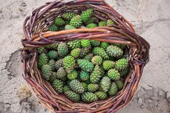 Young pine cones, light green, in a brown wicker basket of vines, which stands on the sand under the open sky. Harvesting for sweet and fragrant jam from the royalty free stock photos