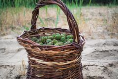 Young pine cones, light green, in a brown wicker basket of vines, which stands on the sand under the open sky. Harvesting for sweet and fragrant jam from the royalty free stock images