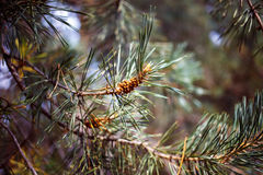 Young pine cones and needles Stock Images