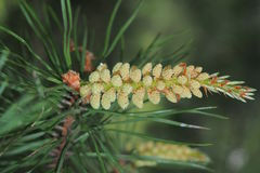 Young pine cones in the spring. Breeding cycles of pine. Stock Photos