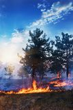 Young pine in flames of fire. Forest fire. Stock Photography