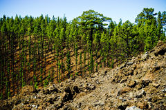Young pine forest Royalty Free Stock Photo