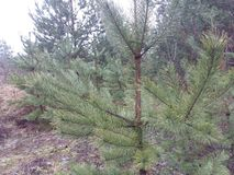 Young pine in the forest after the rain Stock Image