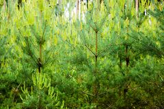 Young pine forest in summer evening. Fresh greens Stock Photo