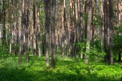 Young pine forest. Understory reinitiation stage stock photography