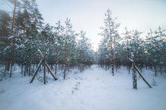 Young pine forest. In winter time stock images