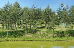 The young pine handmade  forest  grows on the bank of a green ru Royalty Free Stock Image