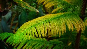 Young pine has turned yellow from sun.n. Plant with green needles on twigs, close-up photography. Small pine has turned yellow from sun. concept of modern Royalty Free Stock Photo