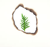 Young pine leaf in hole burnt Royalty Free Stock Photos