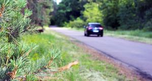 Young pine needles on the background of the forest road and the car that drives off. stock photos