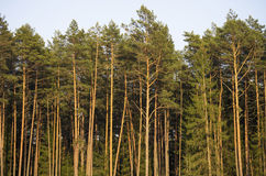 Young pine (pinus) trees Stock Photography