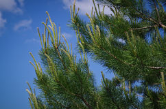 Young pine shoots. Royalty Free Stock Image
