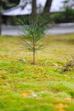 Young pine sprouting during spring Royalty Free Stock Image