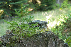 A young pine tree Royalty Free Stock Photos