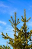 Young pine tree against blue sky in a forest Stock Photos