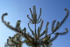 Young pine-tree Royalty Free Stock Photography