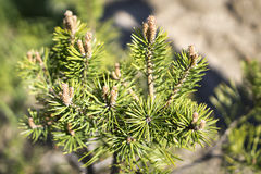 Young pine tree blossoms Royalty Free Stock Photography