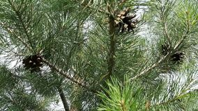 Young pine tree. Branches with cones stock video footage