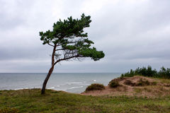 Young pine tree on a cliff by the sea in bad weather Stock Photography