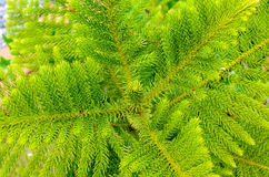 Young Pine Tree. Close up of a young pine tree Royalty Free Stock Photos
