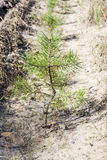 Young pine tree close-up Royalty Free Stock Photos