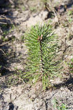 Young pine tree close-up Stock Image