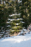 Young Pine Tree. Covered with snow in the woods stock photography