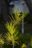 Young pine tree in dawn lighting Stock Photos