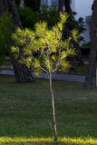 Young pine tree in dawn lighting Royalty Free Stock Photography