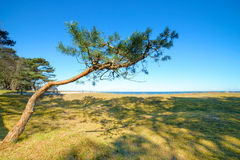 Young pine tree on the edge of dunes by Baltic Sea Royalty Free Stock Photography